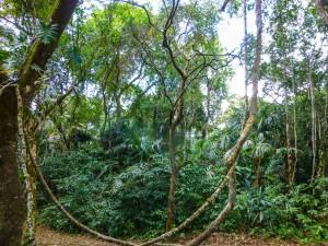 Regenwald bei Lamanai