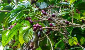 Kaffeebeeren