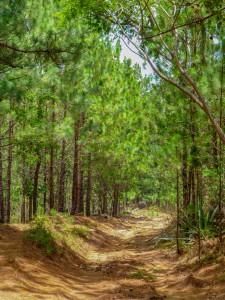 Pinienwald bei San Jose de Cusmapa