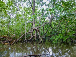 Mangrovenwald bei Sierpe