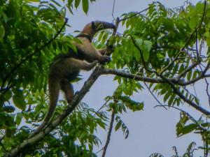 Corcovado Nationalpark Ameisenbär