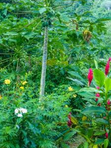 Rarotonga - Papaya