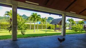 Rarotonga - ein Hahn am Flughafen