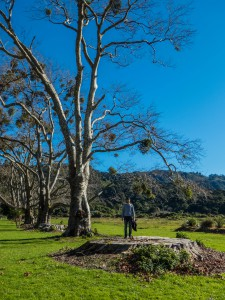 Abel Tasman, riesiger Baumstumpf, Sämi