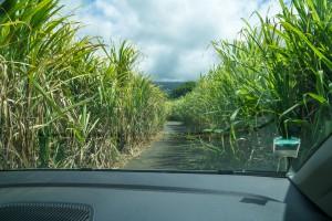 Zuckerrohr - Weg nach Diana Dea